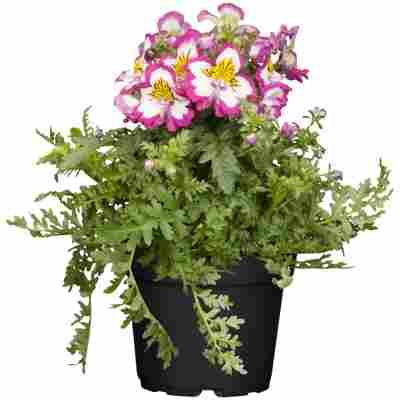 Bauernorchidee 'Rosa', 12 cm Topf