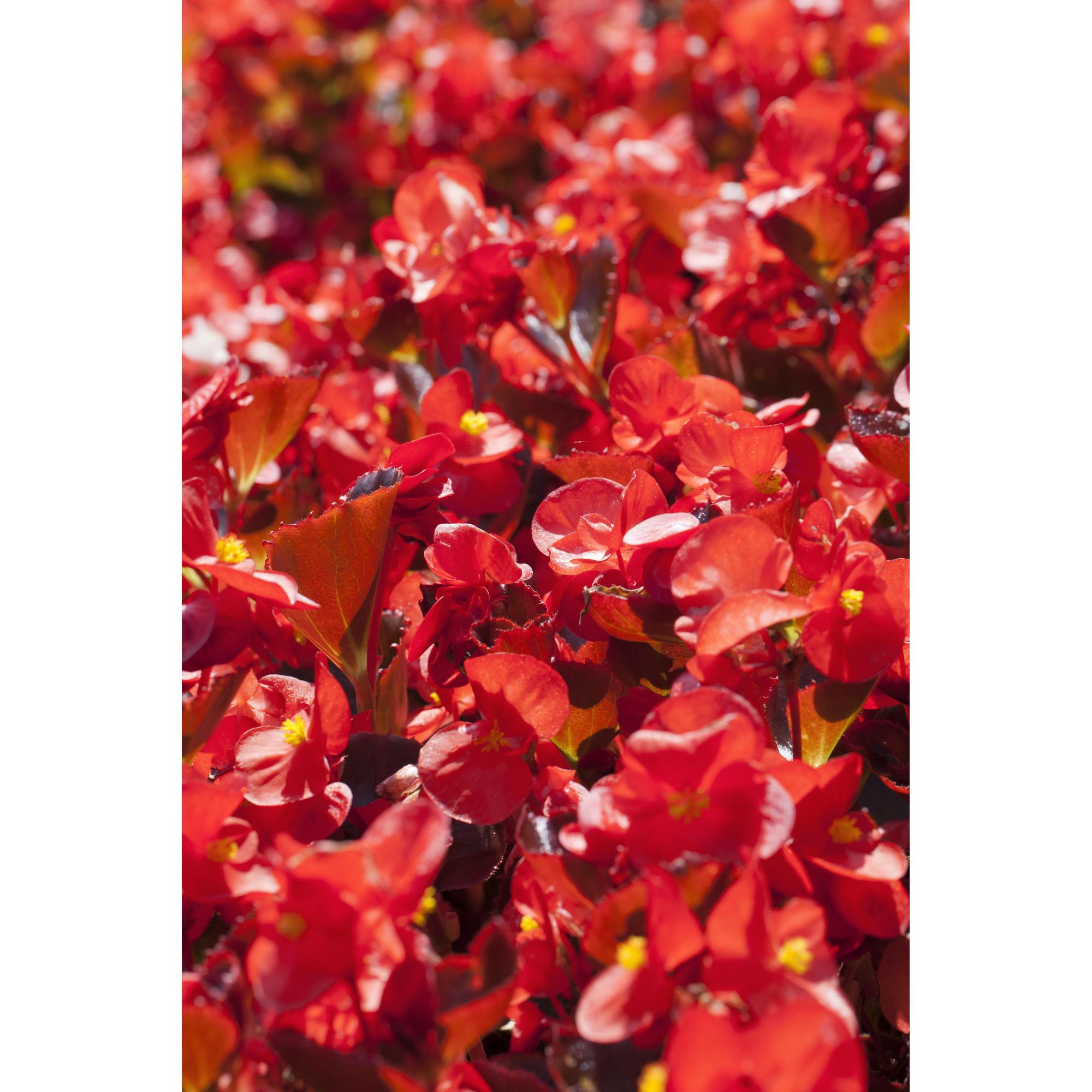 Eisbegonie rot 6er Set, 9 cm Topf