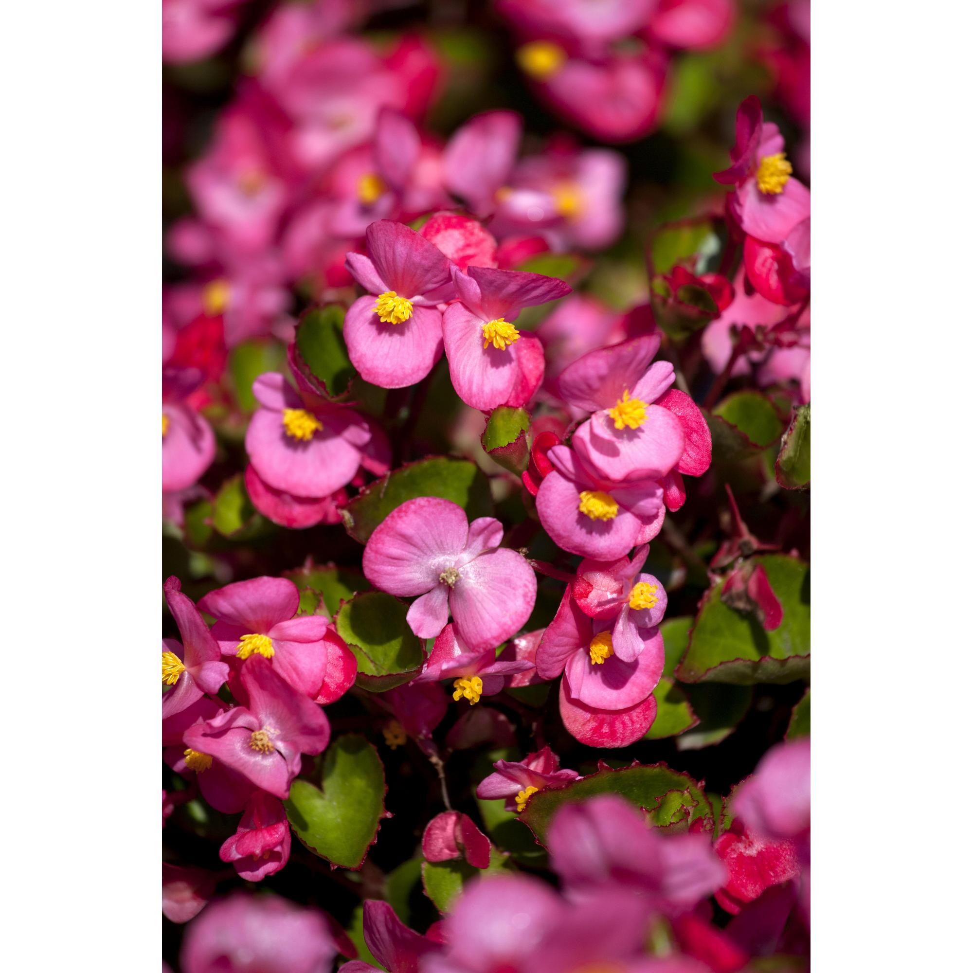 Eisbegonie rosa 6er Set, 9 cm Topf