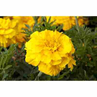 Studentenblume gelb 10,5 cm Topf, 3er-Set