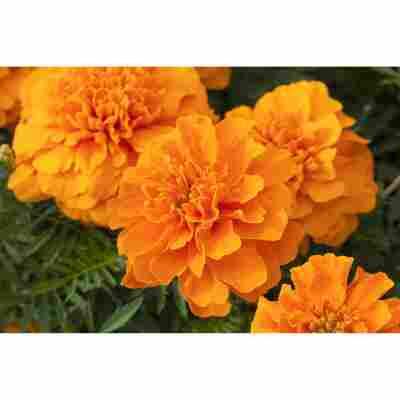 Studentenblume orange 10,5 cm Topf, 3er-Set