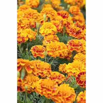Studentenblume orangerot 10,5 cm Topf, 3er-Set