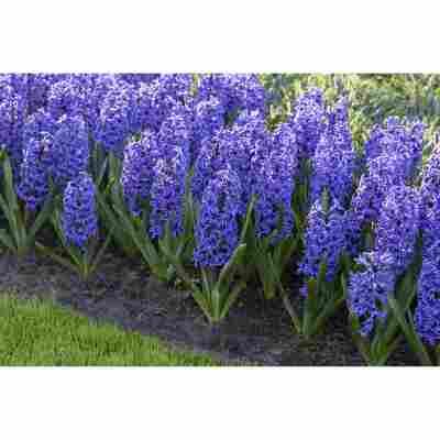 Hyazinthe blau, 12 cm Topf, 2er-Set