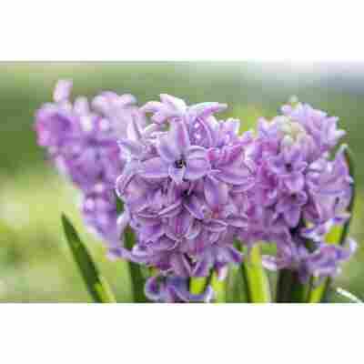 Hyazinthe lila, 12 cm Topf, 2er-Set