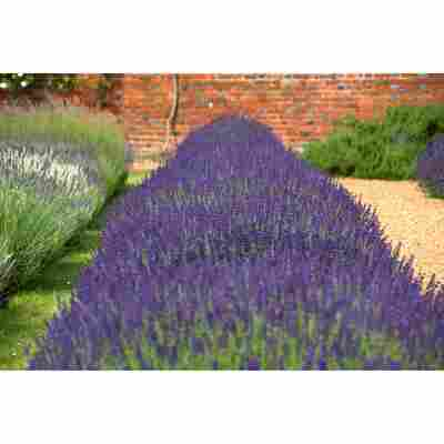 Lavendel 'Essence Purple', 13 cm Topf, 2er-Set