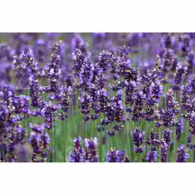 Lavendel 'Hidcote Blue', 13 cm Topf