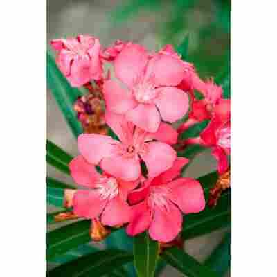 Oleander rosa 17 cm Topf