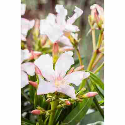 Oleander weiß 17 cm Topf
