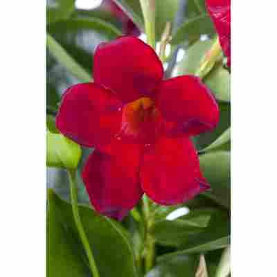 Dipladenie 'Rio red', 14 cm Topf