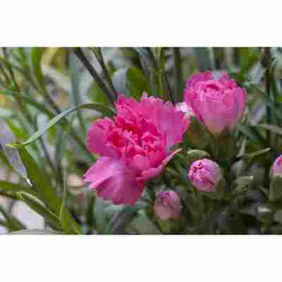 Landnelke rosa gefüllt 3er Set, 12 cm Topf