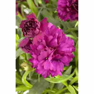 Landnelke lila gefüllt 3er Set, 12 cm Topf