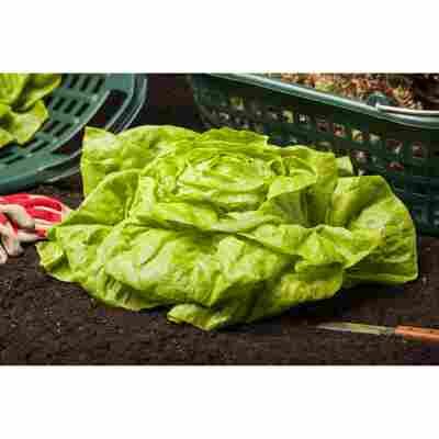 Kopfsalat, Gemüseschale 9er