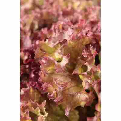 Salat 'Lollo rosso', Gemüseschale 9er