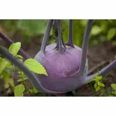 Kohlrabi blau, Gemüseschale 9er