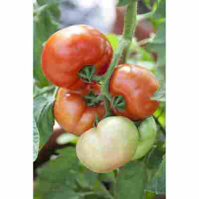 Tomate 'Fantasio' F1 veredelt, 12 cm Topf, 2er-Set