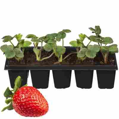 Erdbeere 'Elsanta' 10er-Tray