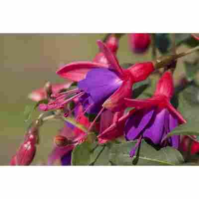 Hängende Fuchsie 'rot-violett', 12 cm Topf