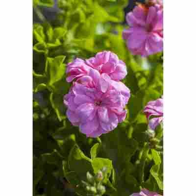 Hängegeranie rosa, 12 cm Topf