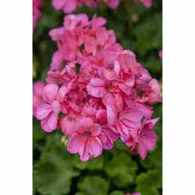 Stehende Geranie rosa, 12 cm Topf