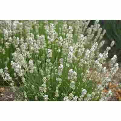 Lavendel 'Nana Alba', 13 cm Topf