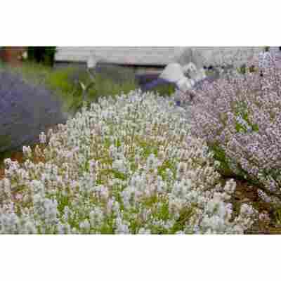 Lavendel 'Arctic Snow', 13 cm Topf