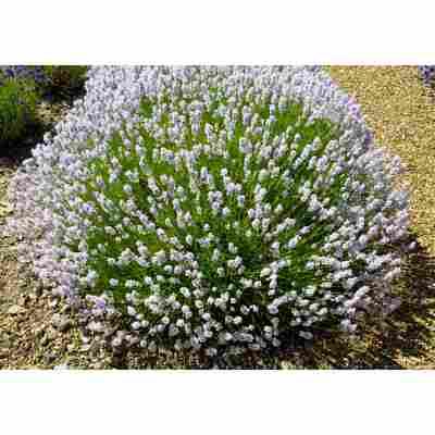 Lavendel 'Little Lottie', 13 cm Topf