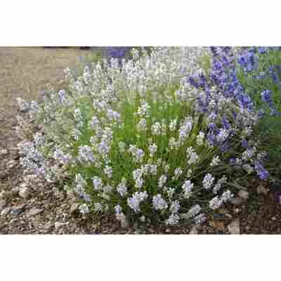 Lavendel 'Lady Ann', 13 cm Topf