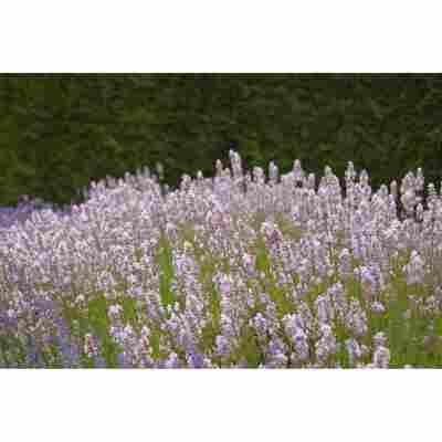 Lavendel 'Miss Katherine', 13 cm Topf