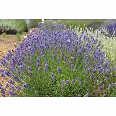 Lavendel 'Melissa Lilac', 13 cm Topf