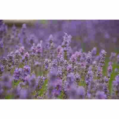 Lavendel 'Little Lady', 13 cm Topf