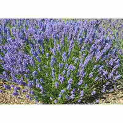 Lavendel 'Lullaby Blue', 13 cm Topf