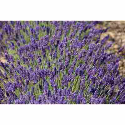 Lavendel 'Peter Pan', 13 cm Topf