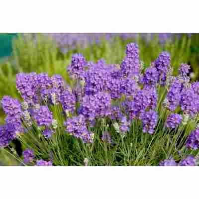 Lavendel 'Miss Muffet', 13 cm Topf