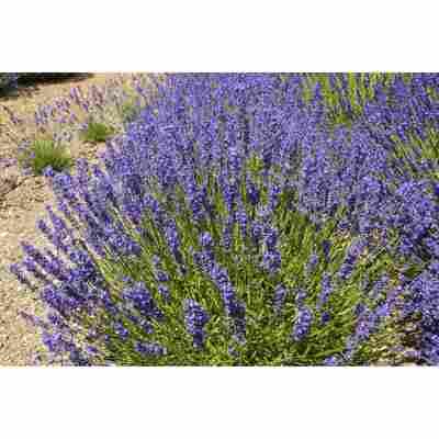 Lavendel 'Twickel Purple', 13 cm Topf