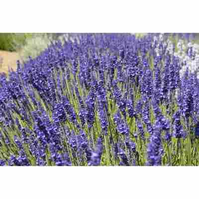 Lavendel 'Elizabeth', 13 cm Topf