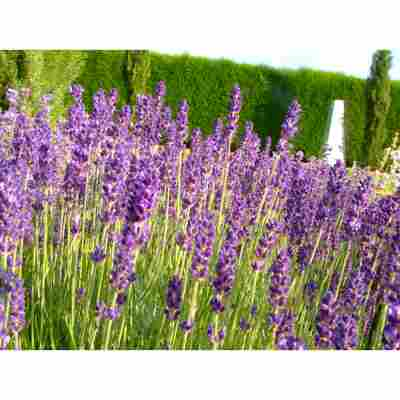 Lavendel 'Royal Velvet', 13 cm Topf