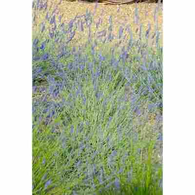 Lavendel 'Silver Sands', 13 cm Topf