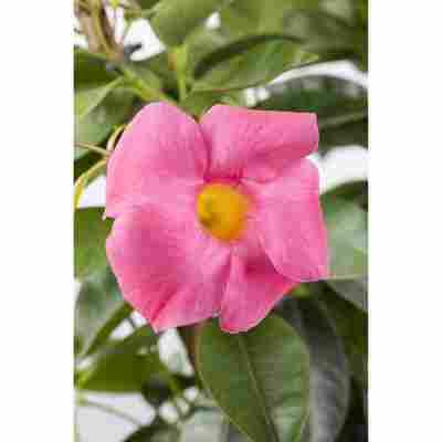 Dipladenie Spalier 'Rio rosa', 27 cm Topf