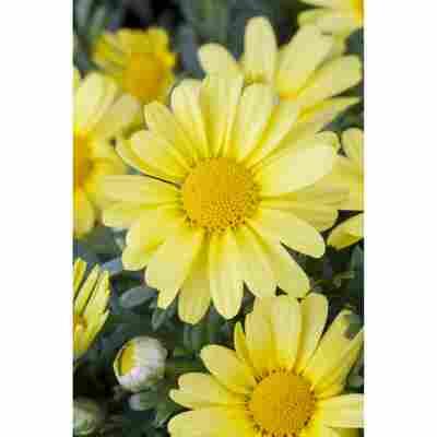 Magerite 'gelb', 14 cm Topf