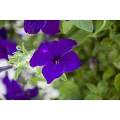 Petunie 'Blau', 9 cm Topf