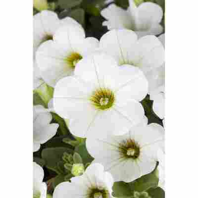 Petunie 'Weiß', 9 cm Topf