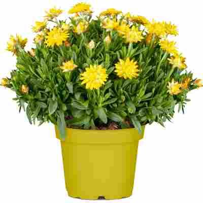 Chrysantheme verschiedene Farben 10,5 cm Topf