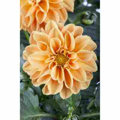 Dahlie 'Orange', 19 cm Topf