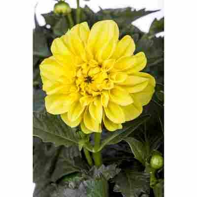 Dahlie 'Gelb', 19 cm Topf