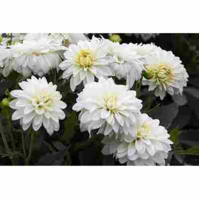 Dahlie 'Weiß', 19 cm Topf