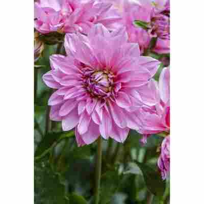 Dahlie 'Rosa', 19 cm Topf