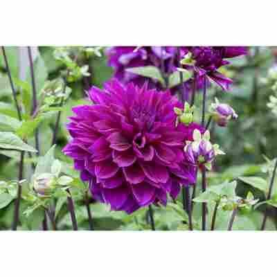 Dahlie 'Violett', 19 cm Topf