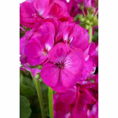 Fairtrade Geranie 'Pink', 12 cm Topf