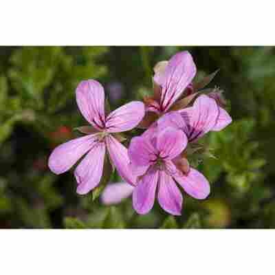 Hängende Geranie 'Einfachblühend Rosa', 12 cm Topf