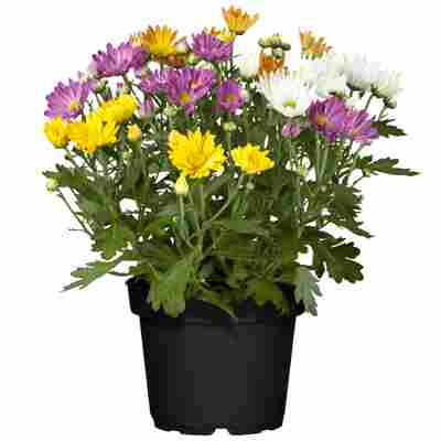 Chrysanthemen-Quattro 12 cm Topf